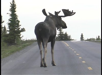moose are huge